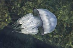 Mooie kwallen die in het overzees zwemmen Stock Fotografie