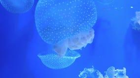 Mooie kwallenvlotter in blauw water stock videobeelden