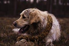 Mooie Labrador Royalty-vrije Stock Foto