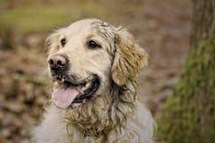 Mooie Labrador Stock Afbeelding