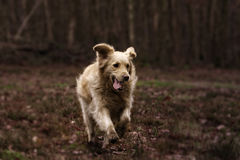 Mooie Labrador Royalty-vrije Stock Fotografie