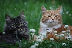 Mooie langharige gember en gestreepte katkatten Royalty-vrije Stock Afbeeldingen