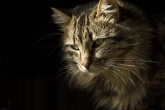 Mooie langharige gestreepte katkat op een zwarte achtergrond, alsof het uit de schaduwen te voorschijn kwam royalty-vrije stock afbeeldingen