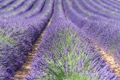 Mooie lavanda van de Provence Stock Afbeelding