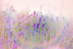 Mooie lavendel Royalty-vrije Stock Afbeelding