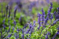 Mooie lavendel in de tuin stock afbeeldingen