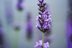 Mooie Lavendel die in de vroege zomer bloeien stock afbeelding