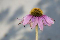 Mooie Lavendel Gerber Daisy Dying in de de Zomerzon royalty-vrije stock foto's