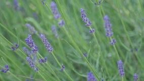 Mooie lavendel op het gebied stock afbeeldingen