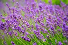 Mooie lavendelbloemen Stock Foto's
