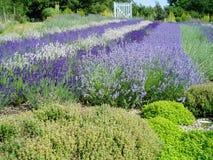 Mooie lavendelbloemen in volledige bloei Stock Fotografie