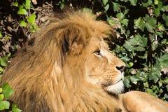 Mooie Leeuw bij het dierentuinpark Lignano Sabbiadoro Italië Stock Afbeeldingen