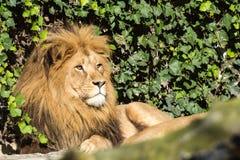 Mooie Leeuw bij het dierentuinpark Lignano Sabbiadoro Italië Stock Foto