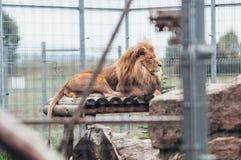 Mooie leeuw in een kooi stock fotografie