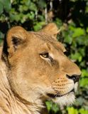 Mooie Leeuwin bij het dierentuinpark Lignano Sabbiadoro Italië Royalty-vrije Stock Foto