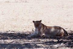 Mooie leeuwin in schaduw, Kalahari Royalty-vrije Stock Afbeelding