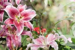 Mooie lelie in tuin Royalty-vrije Stock Fotografie