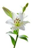 Mooie leliebloemen, die op wit worden geïsoleerde Royalty-vrije Stock Afbeelding