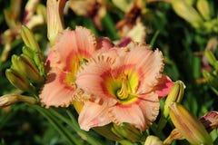 Mooie lelies in de de zomertuin Stock Foto
