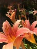 Mooie lelies in Griekenland stock fotografie