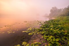 Mooie lelies op een meer Stock Fotografie