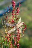 Mooie libel vroeg in ochtend bij zonsopgang op de zomerweide dauwdalingen op vleugels van een libel Het wilddieren stock foto