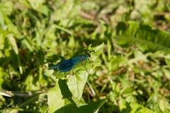 Mooie libellen dichtbij een kleine rivier Stock Afbeelding