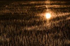 De weerspiegeling van zonsopgang op het padiegebied Royalty-vrije Stock Foto