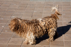 Mooie lichtbruine honden met dreadlocks stock afbeeldingen