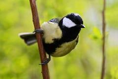 Mooie liedvogel met de zomerachtergrond Koolmees, belangrijke, zwarte en gele de zangvogelzitting van Parus op de aardige zemelen Royalty-vrije Stock Fotografie