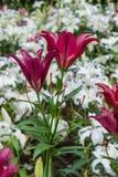 Mooie liiy in de tuin Stock Afbeeldingen