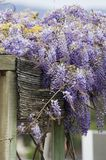 Mooie Lilac bloemen Royalty-vrije Stock Foto's