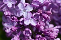 Mooie lilac struik Stock Afbeeldingen