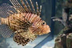 Mooie lionfish Royalty-vrije Stock Foto's