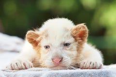 mooie logy baby witte tijger Stock Afbeeldingen