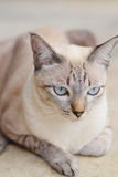 Mooie lokale kat in Thailand Stock Afbeelding