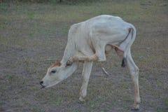 Mooie lokale koeien stock foto