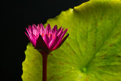 Mooie lotusbloem Royalty-vrije Stock Foto