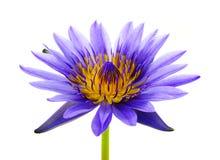 Mooie lotusbloem Royalty-vrije Stock Fotografie