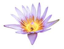 Mooie lotusbloem Royalty-vrije Stock Foto's