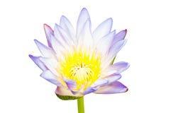 Mooie lotusbloem Stock Afbeelding