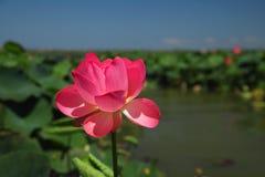 Mooie lotusbloem in aard Royalty-vrije Stock Afbeeldingen