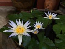 Mooie lotusbloem in de pool Royalty-vrije Stock Foto's