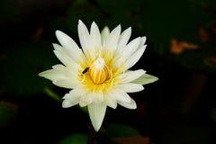 Mooie lotusbloem en een bij in de vijver royalty-vrije stock foto's