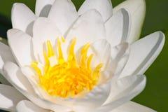 Mooie lotusbloem met water Royalty-vrije Stock Afbeeldingen