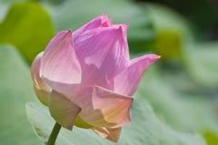 Mooie lotusbloem met water Stock Foto