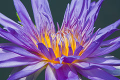 Mooie lotusbloem met water Royalty-vrije Stock Afbeelding