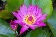 Mooie lotusbloem op bloempot Stock Afbeelding