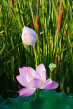 Mooie lotusbloem in pong Royalty-vrije Stock Foto's