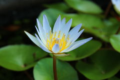 Mooie lotusbloem Thailand Stock Afbeelding